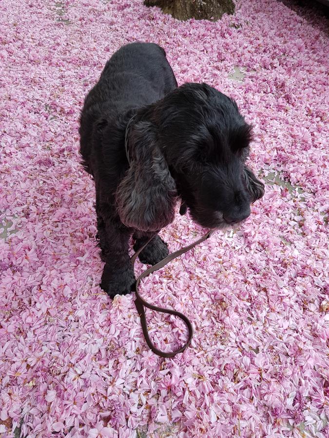 Alfie Cocker Spaniel in Spring Blossom